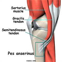 Tendons on medial aspect of knee